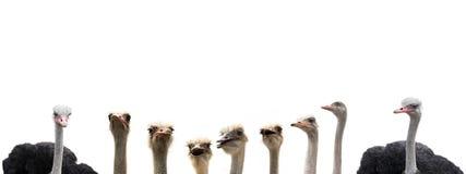Avestruzes isoladas no branco Imagens de Stock Royalty Free