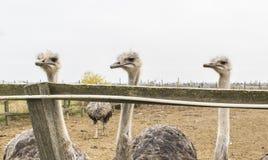 Avestruzes muito interessantes e interessadas Imagem de Stock Royalty Free