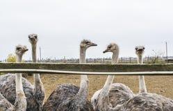 Avestruzes muito interessantes e interessadas Fotografia de Stock