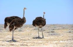 2 avestruzes na bandeja de Etosha Imagens de Stock