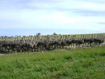 Avestruzes na corrida Fotografia de Stock Royalty Free