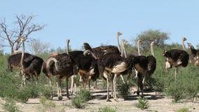 Avestruzes no habitat natural filme
