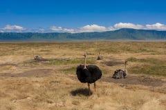 Avestruzes no parque nacional de Serengeti foto de stock