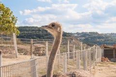 Avestruzes no prado da exploração agrícola Foto de Stock