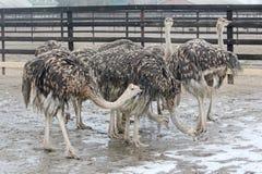 Avestruzes novas que andam na exploração agrícola da avestruz Foto de Stock