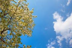 Avfärdade vita blommor av ett blomstra Apple-träd Arkivbild