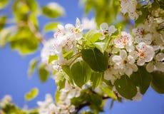Avfärdade vita blommor av ett blomstra Apple-träd Royaltyfria Bilder