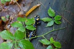 Avfyra salamanderen arkivbild