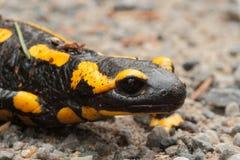Avfyra salamanderen Fotografering för Bildbyråer