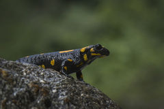 Avfyra salamanderen arkivfoton