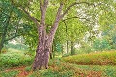 Avión-árbol viejo en un bosque colorido Imagen de archivo libre de regalías