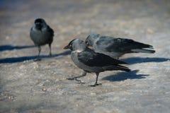 Avian advice jackdaws. Stock Photography