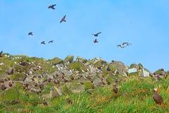 Avian community. Mixed seabird colonies in Aleutian-Commander Islands. Pacific ocean stock photo