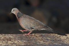 Avian deformity Royalty Free Stock Photography