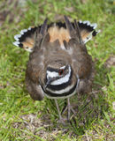Avian enemy. Killdeer puffing up its feathers to guard a nest Stock Photos