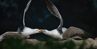 Avian Power Struggle Stock Images