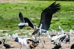 Avian Scuffle - Uganda Stock Photo