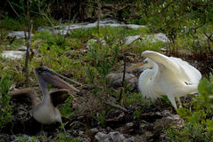 Avian Standoff. A very rare Great White Heron, a color morph of the Great Blue Heron, in a stand off with a Brown Pelican Stock Photo