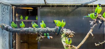 Aviary full with Nanday conures, popular pets in aviculture, Tropical birds from America. A Aviary full with Nanday conures, popular pets in aviculture, Tropical stock photography
