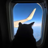 Aviation cat flying in airplane looking out porthole overlooking blue sky wing. Silhouette cat in airplane window.  Stock Images