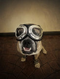 Aviator Bulldog in goggles. An English Bulldog dressed up as an aviator complete with flying goggles Stock Images