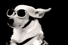 Aviator Dog Royalty Free Stock Images