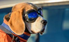 Aviator Dog. Royalty Free Stock Images