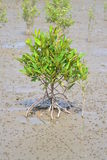 Avicennia marina tree Royalty Free Stock Photo
