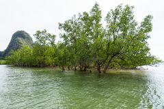 Avicennia officinalis is a species of mangrove. Avicennia officinalis is a tree species of mangrove depend on water at sea in Phang Nga Bay or Ao Phang Nga Royalty Free Stock Image