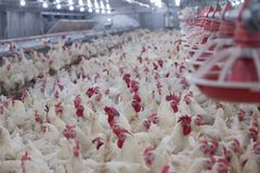 Avicoltura allo scopo di coltivare carne o le uova per alimento 2 fotografia stock libera da diritti