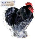 Avicoltura Il pollo cresce serie uccello domestico dell'azienda agricola Immagine Stock