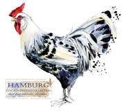 Avicoltura Il pollo cresce serie uccello domestico dell'azienda agricola Fotografia Stock