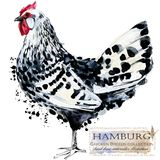 Avicoltura Il pollo cresce serie uccello domestico dell'azienda agricola Fotografie Stock