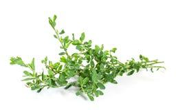aviculare孤立knotweed蓼属植物 免版税库存照片