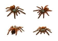 Avicularia versicolor. Bird spider Royalty Free Stock Photos