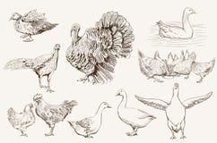 Avicultura Foto de archivo libre de regalías