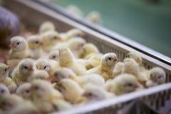 Aviculture afin de cultiver la viande ou des oeufs pour la nourriture 2 Image libre de droits