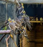 Aviculture, a aviary full of cockatiels, tropical crested birds from Australia, Popular pets. Aviculture, a aviary full of cockatiels, tropical crested birds royalty free stock photos