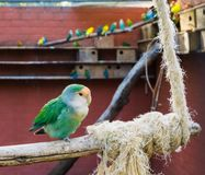Aviculture, beautiful blue color mutation of a peach faced lovebird sitting on a branch in the aviary stock photo