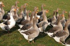 Aviculture en EN Vexin de Brueil Images stock