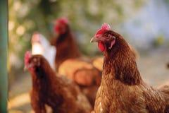 Aviculture gratuite traditionnelle de gamme Image libre de droits
