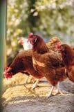 Aviculture gratuite traditionnelle de gamme Photographie stock