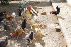 Aviculture gratuite traditionnelle de gamme Poulets photographie stock libre de droits