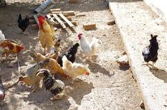 Aviculture gratuite traditionnelle de gamme Poulets images stock