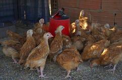 Aviculture gratuite traditionnelle de gamme Poulets photos libres de droits