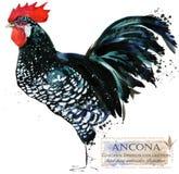Aviculture Le poulet multiplie la série illustration domestique d'aquarelle d'oiseau de ferme illustration de vecteur