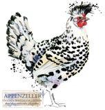 Aviculture Le poulet multiplie la série oiseau domestique de ferme Photo libre de droits