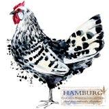 Aviculture Le poulet multiplie la série oiseau domestique de ferme Photos stock