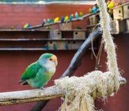 Aviculture, mooie blauwe kleurenverandering van een perzik zag dwergpapegaaizitting op een tak in het vogelhuis onder ogen stock foto