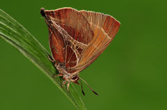 Avidiena/бабочка Amblopala Стоковые Изображения RF